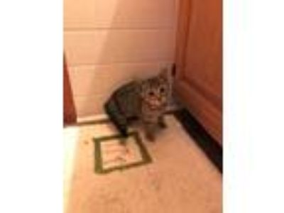 Adopt TiggerCP a Tiger Striped Domestic Shorthair (short coat) cat in Carlisle