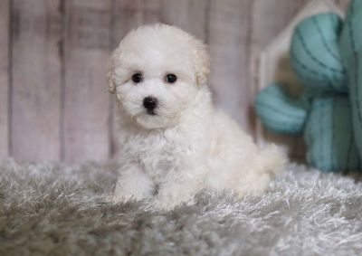 Cotton Candy the Maltipoo