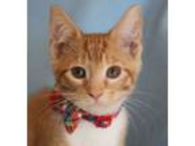 Adopt Colby-ADOPTED a American Shorthair, Domestic Short Hair