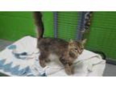Adopt a Brown Tabby Domestic Shorthair / Mixed (short coat) cat in Hanford