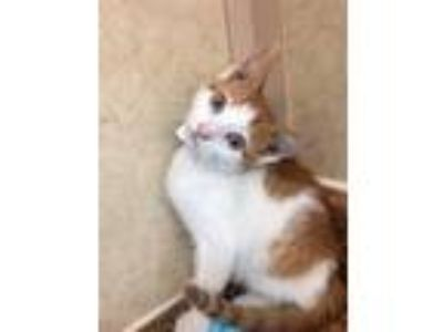 Adopt Bazooka a Domestic Short Hair