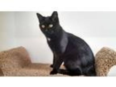 Adopt Sage a Black (Mostly) Domestic Shorthair (short coat) cat in St Paul