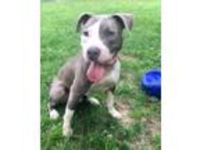 Adopt ASH a White - with Gray or Silver American Staffordshire Terrier / Pit