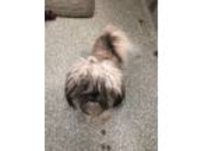 Adopt Chewy a Shih Tzu, Mixed Breed