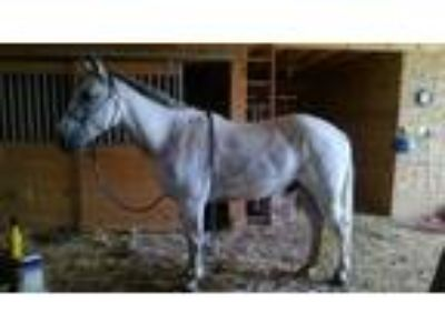 Beautiful 2003 Gray Quarter Horse Gelding
