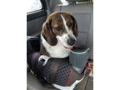 Adopt Maxine a Brindle - with White Beagle / Mixed Breed (Medium) / Mixed dog in