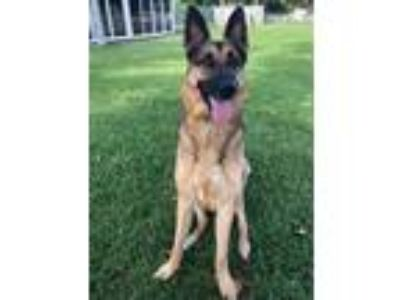 Adopt Maxx 0850 a German Shepherd Dog
