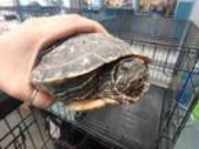 Adopt NORBERT a Turtle