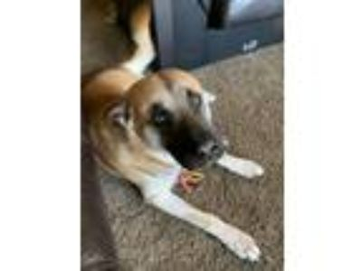 Adopt Homer a Brindle - with White Akita / German Shepherd Dog / Mixed dog in