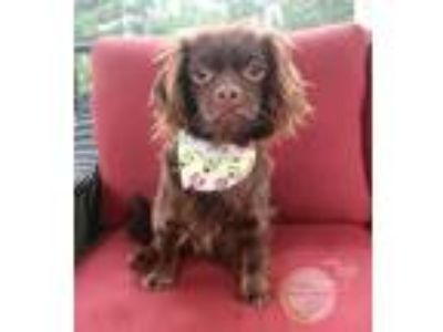 Adopt Jojo a Brown/Chocolate Dachshund / Pekingese / Mixed dog in Benton