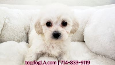 Poodle (Standard)-Maltese Mix PUPPY FOR SALE ADN-71427 - Maltipoo Female Emily