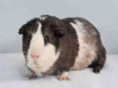 Adopt BUDDY a Silver or Gray Guinea Pig / Mixed small animal in Loveland