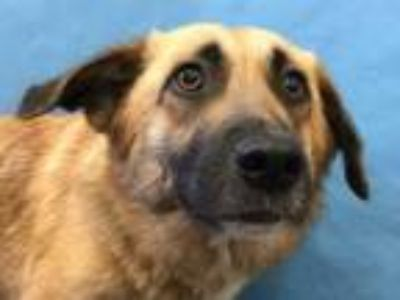 Adopt Abby a Shepherd, Mixed Breed