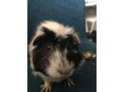 "Adopt Mystery ""Missy"" a Black Guinea Pig small animal in Fort Collins"