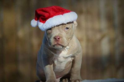 American Pit Bull Terrier PUPPY FOR SALE ADN-109480 - Christmas puppy