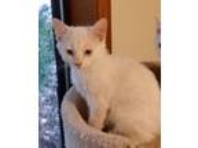 Adopt Cooper a Cream or Ivory (Mostly) Siamese (short coat) cat in Salem