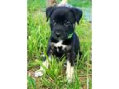Adopt Night Wings a Black Rottweiler / Mixed dog in Mission, KS (25564864)
