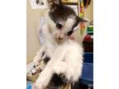 Adopt Lisa Turtle a Domestic Short Hair