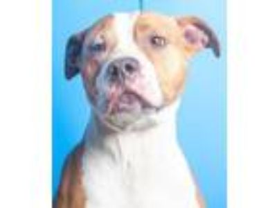 Adopt Jiffy a Pit Bull Terrier