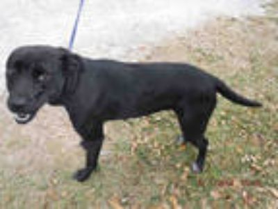 Adopt LADY BUG a Black - with White Labrador Retriever / Mixed dog in Doral