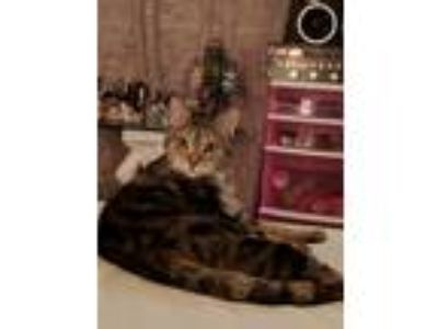 Adopt Sara a Tiger Striped Domestic Longhair / Mixed cat in Atlanta