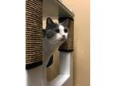 Adopt Azure a Domestic Short Hair