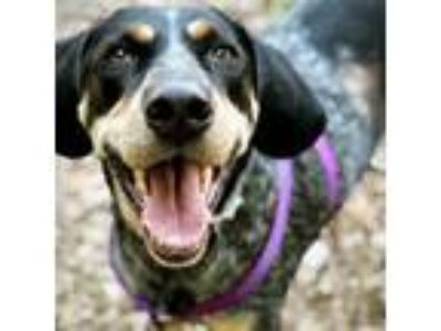 Adopt OZZY a Gray/Blue/Silver/Salt & Pepper Hound (Unknown Type) / Mixed dog in