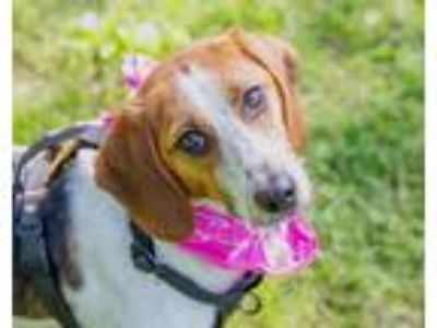 Adopt Kelsey a Tricolor (Tan/Brown & Black & White) Beagle / Foxhound / Mixed