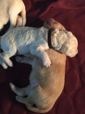 Goldendoodle PUPPY FOR SALE ADN-78231 - GORGEOUS goldendoodle puppies