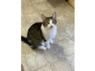 Adopt Patrick a All Black Domestic Shorthair / Domestic Shorthair / Mixed cat in
