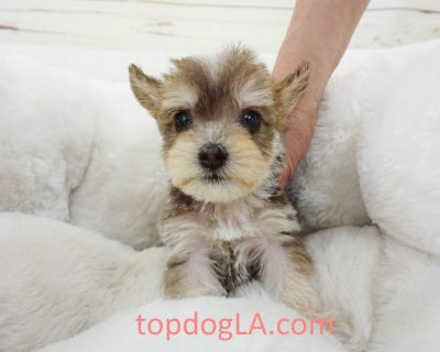 Yorkiepoo Puppy - Male – Richie ($1,499) Tcup
