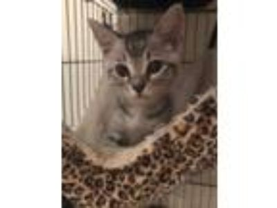 Adopt Crackle a Domestic Short Hair