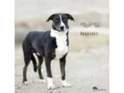 Adopt Augustus a Brown/Chocolate - with White Catahoula Leopard Dog / Australian