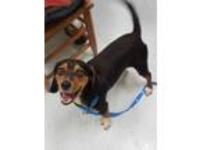 Adopt Rabbit a Tricolor (Tan/Brown & Black & White) Beagle / Mixed dog in