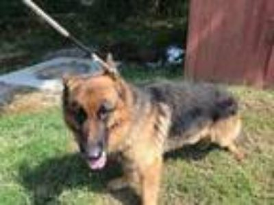 Adopt Dodge a Brown/Chocolate German Shepherd Dog / Mixed dog in Fort Worth