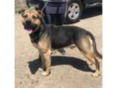 Adopt George a German Shepherd Dog, Rottweiler
