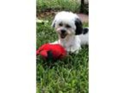 Adopt Ana Sofia a Shih Tzu / Poodle (Miniature) / Mixed dog in Davie