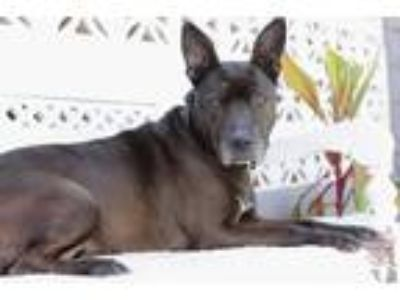 Adopt Sheila a Black - with White Shepherd (Unknown Type) / Pit Bull Terrier /