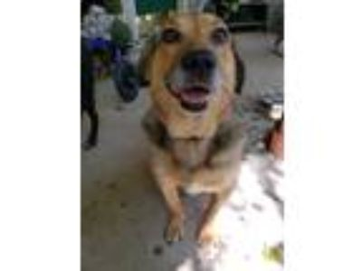 Adopt Grace a Tricolor (Tan/Brown & Black & White) German Shepherd Dog / Mixed