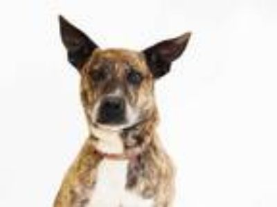Adopt AMBER a Brindle - with White Dutch Shepherd / Mixed dog in St.