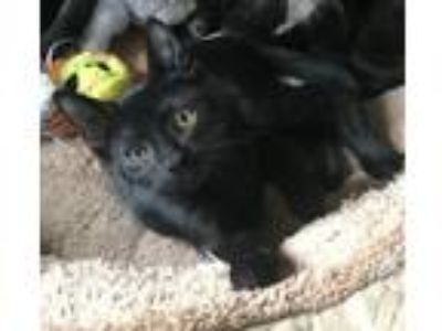 Adopt Ethan (baby male kitten) a Domestic Short Hair