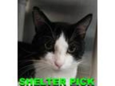 Adopt Herbie a All Black Domestic Shorthair / Domestic Shorthair / Mixed cat in