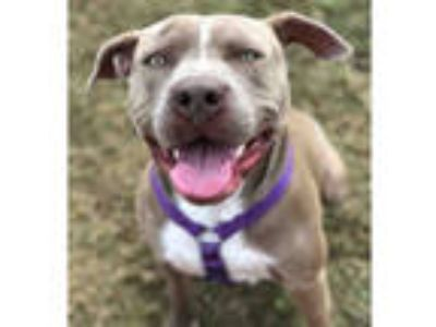 Adopt *BEAUMONT a Gray/Silver/Salt & Pepper - with White American Pit Bull