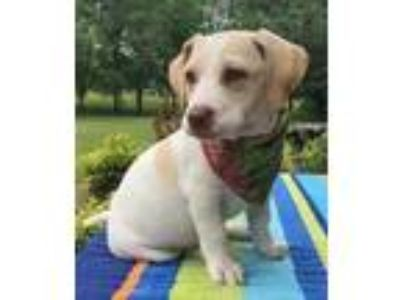 Adopt Batgirl a White Jack Russell Terrier / Labrador Retriever / Mixed dog in