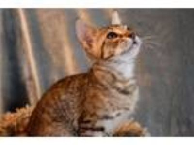 Adopt Levi a Brown Tabby Domestic Shorthair / Mixed (short coat) cat in Hammond