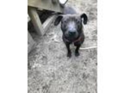 Adopt Willard a Labrador Retriever / American Staffordshire Terrier / Mixed dog