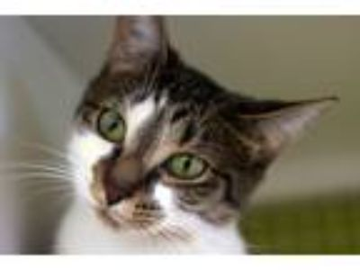Adopt Athena a Brown Tabby Domestic Shorthair (short coat) cat in Troy