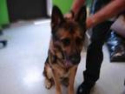 Adopt Stray - Shady Ter / Avail 5-21 a Brown/Chocolate German Shepherd Dog /