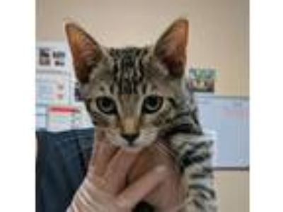 Adopt Vireo a Domestic Short Hair
