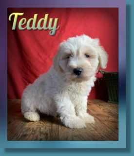 Teddy Male Schnoodle